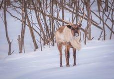 寻找食物的北美驯鹿在冬天 库存照片