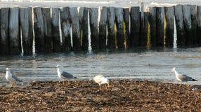 寻找食物的四只海鸥 免版税库存图片