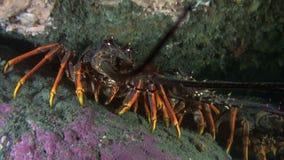 寻找食物的大红色langoust龙虾 股票视频