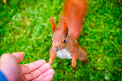 寻找食物的好奇灰鼠 免版税图库摄影