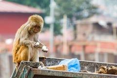 寻找食物的恒河猴 免版税库存照片