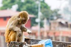 寻找食物的恒河猴 库存照片