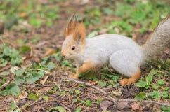 寻找食物的欧亚红松鼠在地面上 库存图片