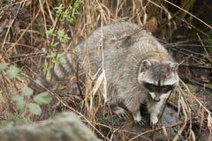 寻找食物的浣熊 免版税图库摄影