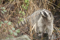 寻找食物的浣熊 库存图片