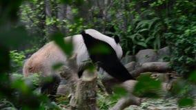 寻找食物的熊猫 影视素材