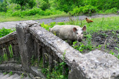寻找食物的猪在奇阿图拉一个被放弃的区  免版税库存图片
