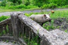 寻找食物的猪在奇阿图拉一个被放弃的区  免版税库存照片