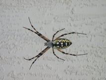 寻找食物的蜘蛛 免版税图库摄影