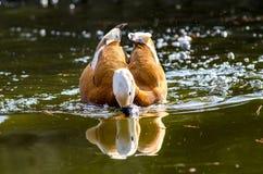 寻找食物的鸭子在池塘 免版税库存照片