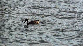 寻找食物的鸭子在池塘 股票录像