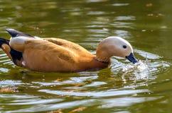 寻找食物的鸭子 免版税图库摄影