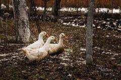 寻找食物的鹅群  图库摄影