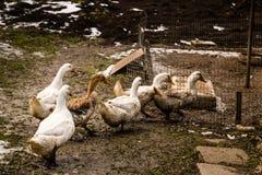 寻找食物的鹅群  库存图片