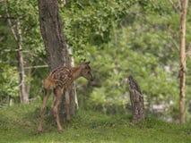 寻找食物的鹿小狗 免版税库存照片