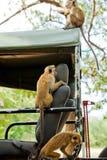 寻找食物的猴子 免版税库存照片