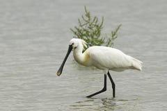 寻找食物- Platalea leucorodia的白琵鹭 图库摄影