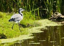 寻找鱼的灰色苍鹭 免版税库存图片