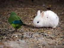 寻找绿色鹦鹉的白色兔子 免版税库存照片