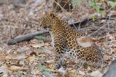 寻找preysitting的豹子在森林里 免版税图库摄影