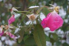 承受第一雪的桃红色玫瑰 库存照片