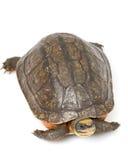 把中国硬币金黄乌龟装箱 库存照片