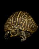 把佛罗里达乌龟装箱 库存照片
