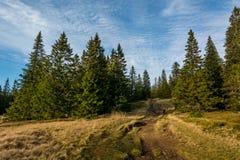 把变成松树森林的供徒步旅行的小道 库存照片