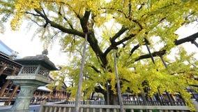 把变成黄色的美丽的银杏树树 股票录像