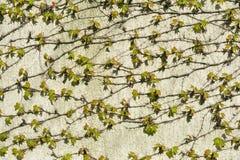 把墙壁hous编成辫子的葡萄年轻新鲜的绿色叶子  免版税库存照片