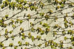 把墙壁hous编成辫子的葡萄年轻新鲜的绿色叶子  免版税库存图片