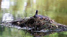 把巢留在的老傻瓜在Voorstonden湖,荷兰 影视素材