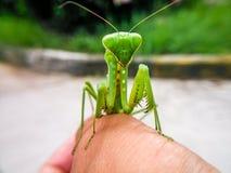 把螳螂放在您的手指上 免版税库存照片