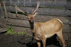 把西伯利亚雄鹿赶入围栏 免版税库存照片