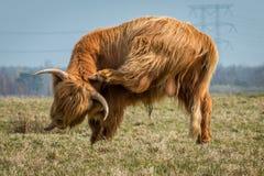 抓他的头的布朗高地母牛 免版税库存照片