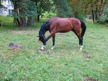 抓他的脚的美丽的大棕色马 库存照片