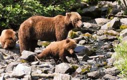 抓住崽第一头鱼北美灰熊 库存照片
