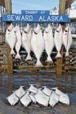 抓住新鲜的大比目鱼 免版税库存照片