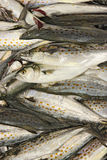 抓住新鲜的鲭鱼西班牙垂直 免版税图库摄影