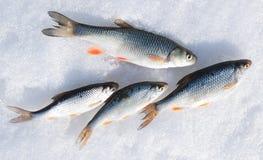 抓住淡水鳔形鱼新鲜的蟑螂 免版税库存照片