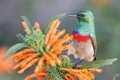 抓住衣领口的双南部的sunbird 免版税库存照片