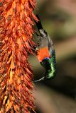 抓住衣领口的双更加极大的sunbird 免版税库存图片