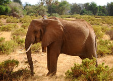 抓住衣领口的大象 免版税库存图片