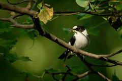 抓住衣领口的捕蝇器- Ficedula albicollis -黑白男性坐橡木分支和唱歌 绿色背景 库存图片
