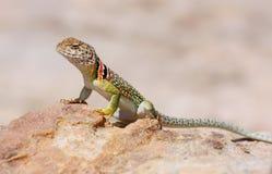 抓住衣领口的母蜥蜴 免版税图库摄影