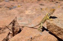 抓住衣领口的母蜥蜴 图库摄影