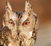 抓住衣领口的猫头鹰scops 免版税库存照片
