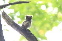 抓住衣领口的猫头鹰scops 免版税库存图片