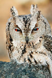 抓住衣领口的猫头鹰scops 库存图片