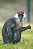 抓住衣领口的白眉猴 图库摄影